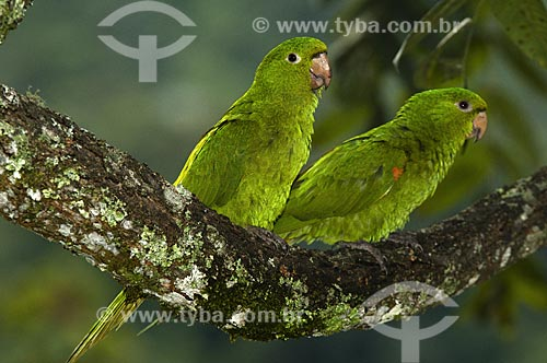 Assunto: Aratinga-de-bando ou Periquitão-maracanã (Aratinga leucophtalma) no Parque Nacional do Itatiaia  / Local:  Itatiaia - RJ - Brasil  / Data: 15/12/2008