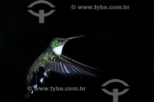 Assunto: Beija-flor-de-papo-branco (Leucochloris albicollis) no Parque Nacional do Itatiaia  / Local:  Itatiaia - RJ - Brasil  / Data: 11/12/2008