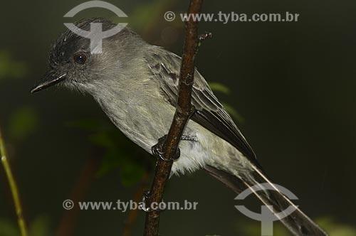 Assunto: Papa-moscas-cinzento (Contopus cinereus) também conhecido como piuí-cinza no Parque Nacional do Itatiaia  / Local:  Itatiaia - RJ - Brasil  / Data: 26/01/2009