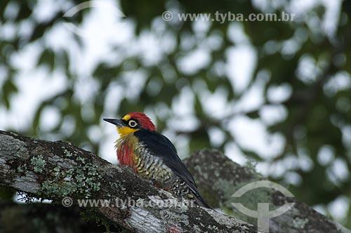 Assunto: Pica-pau Benedito macho (Melanerpes flavifrons) também conhecido como Benedito ou Benedito-de-testa-amarela no Parque Nacional do Itatiaia  / Local:  Itatiaia - RJ - Brasil  / Data: 13/12/2008