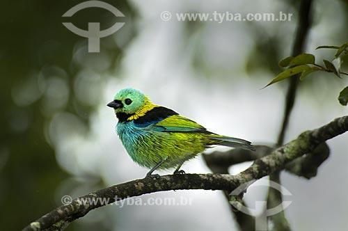 Assunto: Saíra-sete-cores ou Saíra-de-Sete-Cores (Tangara seledon) no Parque Nacional do Itatiaia  / Local:  Itatiaia - RJ - Brasil  / Data: 16/12/2008