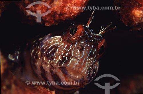 Assunto: Detalhe de peixe macaco, Parablennius marmoreus, em Angra dos Reis, RJ. / Local: Angra dos Reis - Rio de Janeiro (RJ) - Brasil / Data: 04/06/2010