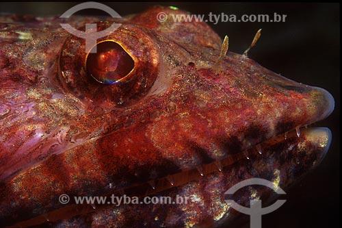 Assunto: Detalhe de peixe lagarto, Synodus synodus, em Angra dos Reis, RJ. / Local: Angra dos Reis - Rio de Janeiro (RJ) - Brasil / Data: 04/06/2010