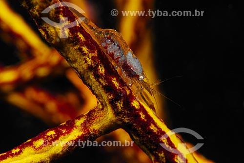 Assunto: Minúsculo camarão sobre coral / Local: Baía da Ilha Grande - Angra dos Reis - Rio de Janeiro (RJ) - Brasil / Data: 04/06/2010