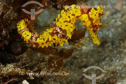 Assunto: Cavalo-marinho amarelo / Local: Ilha Grande - Angra dos Reis - Rio de Janeiro (RJ) - Brasil / Data: 08/06/2010