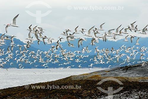 Assunto: Revoada de pássaros (Trinta-réis-de-bando) na Baía da Ilha Grande, RJ. / Local: Baía da Ilha Grande - Angra dos Reis - Rio de Janeiro (RJ) - Brasil / Data: 08/06/2010