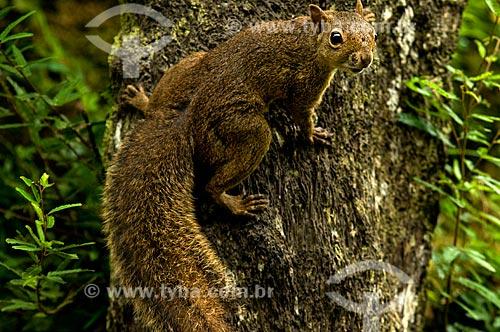 Assunto: Caxinguelê, também conhecido como Serelepe ou Esquilo-da-guiana (Sciurus aestuans) no Parque Nacional do Itatiaia  / Local:  Itatiaia - Rio de Janeiro - RJ - Brasil  / Data: 12/2008