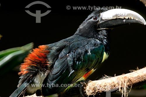 Assunto: Araçari-de-bico-branco (Pteroglossus aracari) no Parque das Aves  / Local:  Foz do Iguaçu - Paraná - PR - Brasil  / Data: 06/2009