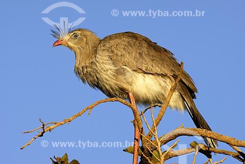 Assunto: Siriema ou seriema (Cariama cristata) no Parque Nacional das Emas  / Local:  Goiás - Brasil  / Data: 10/2006