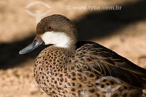 Assunto: Marreca-toicinho (Anas bahamensis) no Parque das Aves  / Local:  Foz do Iguaçu - Paraná - PR - Brasil  / Data: 06/2009
