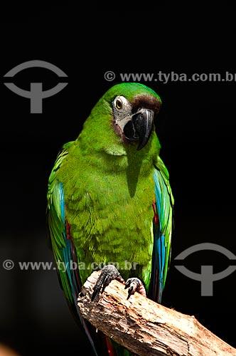 Assunto: Maracanã-guaçu (Ara severus) no Parque das Aves  / Local:  Foz do Iguaçu - Paraná - PR - Brasil  / Data: 06/2009