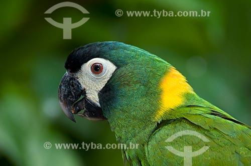 Assunto: Maracanã-de-colar também conhecido como Ararinha de colar (Primolius auricollis) no Parque das Aves  / Local:  Foz do Iguaçu - Paraná - PR - Brasil  / Data: 06/2009