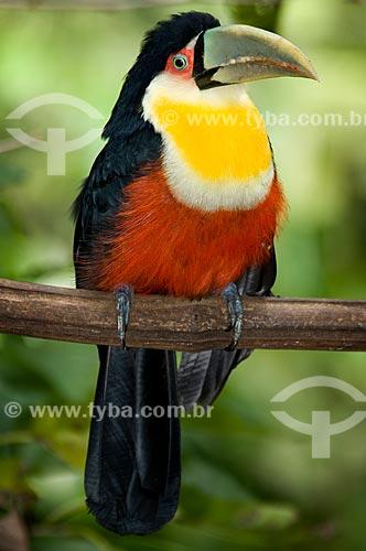 Assunto: Tucano-do-bico-verde (Ramphastos dicolorus) no Parque das Aves  / Local:  Foz do Iguaçu - Paraná - PR - Brasil  / Data: 06/2009