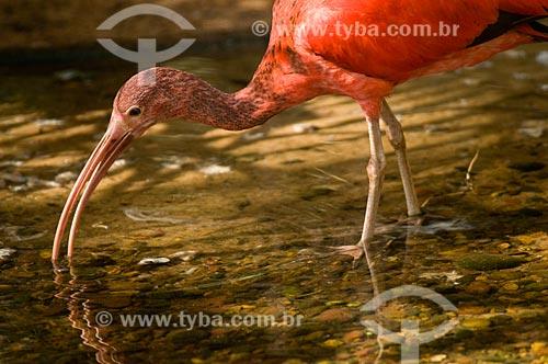 Assunto: Guará tabém conhecido como Ibis-escarlate, Guará-vermelho, Guará-rubro ou Guará-pitanga (Eudocimus ruber) no Parque das Aves  / Local:  Foz do Iguaçu - Paraná - PR - Brasil  / Data: 06/2009