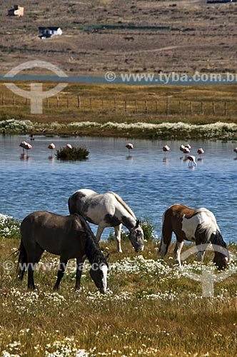 Assunto: Cavalos e flamingos chilenos (Phoenicopterus chilensis) no deserto de El Calafate  / Local:  Patagônia - Argentina  / Data: 19/02/2010
