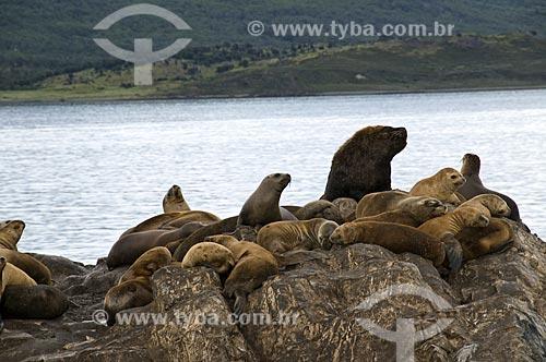 Assunto: Lobos Marinhos (Arctocephalus Sp.) no Canal de Beagle  / Local:  Patagônia - Argentina  / Data: 02/2010
