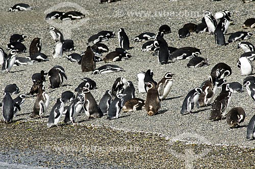 Assunto: Pinguins em praia do Canal de Beagle  / Local:  Patagônia - Argentina  / Data: 02/2010