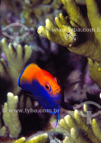 Assunto: Peixe Centropyge (Centropyge aurantonotus) / Local: Arraial do Cabo - Rio de Janeiro (RJ) - Brasil / Data: 26/09/2007