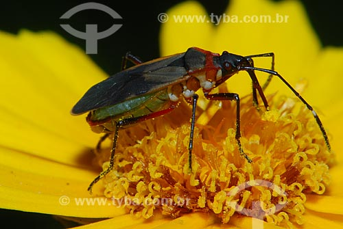 Assunto: Inseto sugador de seiva (Percevejo, Ordem Hemiptera, subordem Heteroptera) / Local: São Pedro da Serra - Nova Friburgo (RJ) - Brasil / Data: 23/11/2006