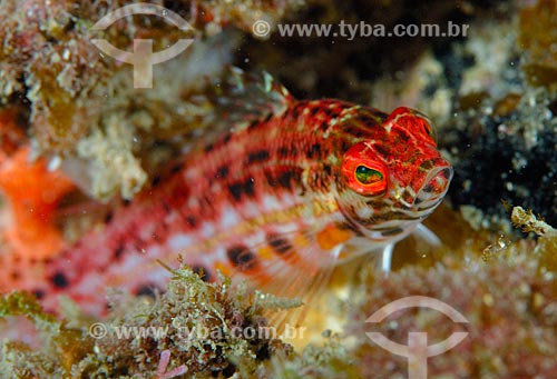 Assunto: Peixe (Serranus baldwini) / Local: Baía da Ilha Grande - Angra dos Reis - Rio de Janeiro (RJ) - Brasil / Data: 13/12/2007