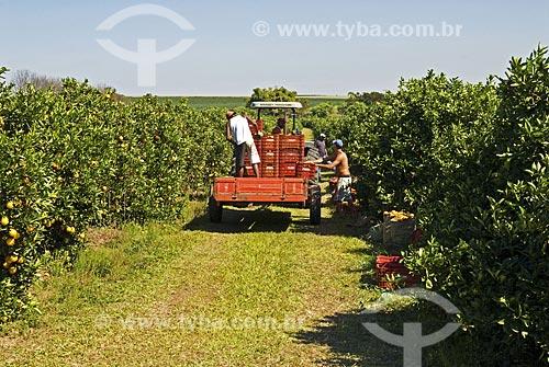 Assunto: Colheita de frutas cítricas  / Local:  Mogi-Mirim - São Paulo - SP - Brasil  / Data: 07/2010