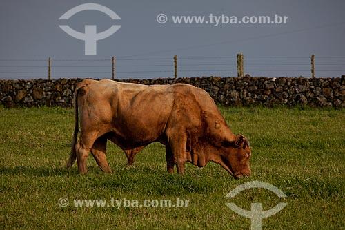 Assunto: Boi da raça Montana  / Local:  Campos de Cima da Serra - Rio Grande do Sul  / Data: 09 /2010