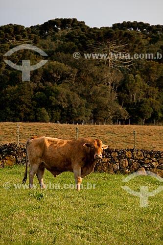 Assunto: Vaca da raça Montana  / Local:  Campos de Cima da Serra - Rio Grande do Sul  / Data: 09 /2010