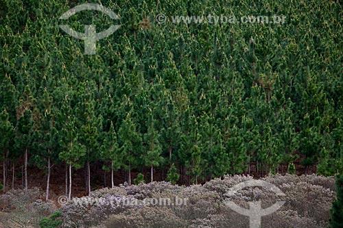 Assunto: Pinheiros  / Local:  Campos de Cima da Serra - Rio Grande do Sul  / Data: 09 /2010