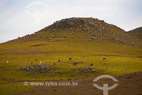 Assunto: Gado pastando em paisagem típica dos Campos de Cima da Serra  / Local:   Rio Grande do Sul  / Data: 09 /2010