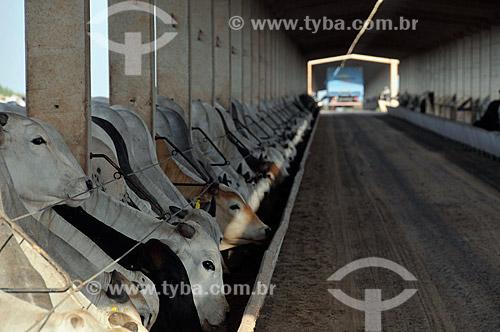 Assunto: Gado confinado em curral para abate  / Local:  Sabino - São Paulo - SP  / Data: 12/2008