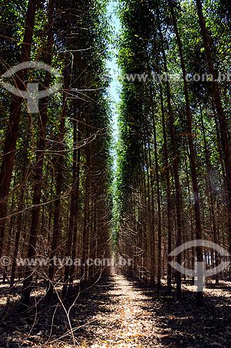 Assunto:  Reflorestamento - eucalipto / Local:  Lins - São Paulo - SP  / Data: 12/2008