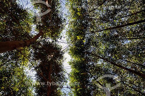 Assunto:  Reflorestamento - eucalipto  / Local:  Guaiçara - São Paulo - SP  / Data: 12/2008