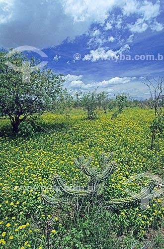 Assunto: Mandacaru - paisagem da Caatinga durante a temporada de chuvas / Local: Curaçá - Bahia - Brasil / Data: 2009