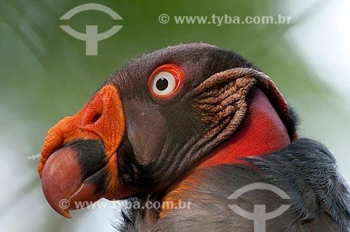 Urubu Rei - King Vulture (Sarcoramphus papa - Família Cathartidae), distribuição geográfica do México à Bolívia, norte da Argentina e Uruguai - Parque Botânico Vale - Floresta Nacional Carajás  - Parauapebas - Pará - Brasil