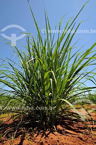 Assunto: Plantação de cana-de-açúcar  / Local:  Holambra - SP  / Data: 11/2009