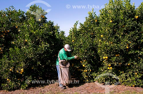 Assunto: Colheita de laranjas da variedade lima  / Local:  Conchal - São Paulo - SP  / Data: 06/2010