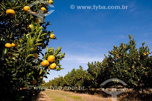 Assunto: Pomar de tangerinas murcote  / Local:  Conchal - São Paulo - SP  / Data: 06/2010