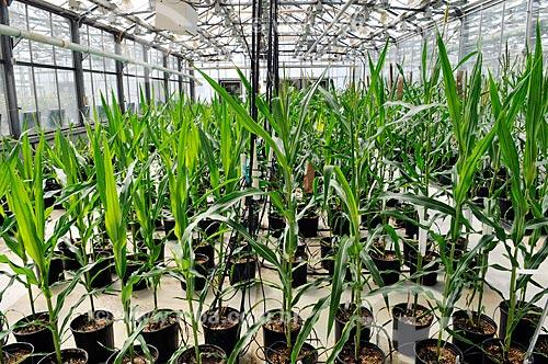 Assunto: Estufa de pesquisa de milho geticamente modificada em Chesterfield  / Local:  Chesterfield - Sant Louis - Missouri - Estados Unidos da América - EUA  / Data: 08/2009
