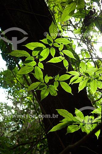 Assunto: Folhas de árvore da várzea amazônica na margem do Lago Mamirauá  / Local:  Reserva de Desenvolvimento Sustentável Mamirauá - Amazonas - AM - Brasil  / Data: 2007