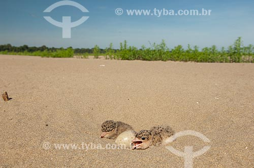Assunto: Filhote de trinta-réis-grande ou gaivota (Phaetusa simplex)  / Local:  Praia do Tapiira - Rio Japurá - Reserva de Desenvolvimento Sustentável Amanã - Amazonas - AM - Brasil  / Data: 2007