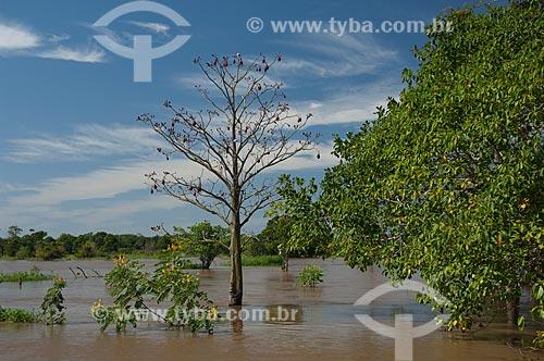 Assunto: Mungubeira (Pseudobombax munguba) na várzea do rio Amazonas  / Local:  Manaus - Amazonas - AM - Brasil  / Data: 2007