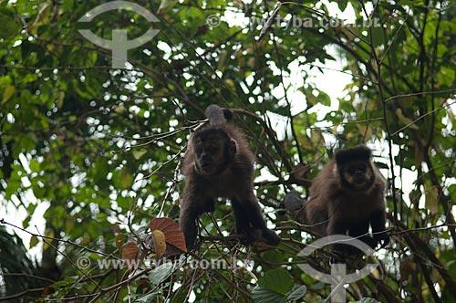 Assunto: Macaco-prego (Cebus nigritus) na mata atlântica do Parque Nacional do Itatiaia  / Local:  Rio de Janeiro - RJ - Brasil  / Data: 2008
