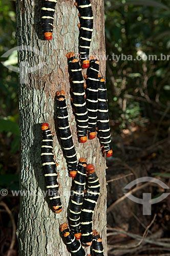 Assunto: Lagartas gregárias de mariposa no Parque Minicipal do Mindu  / Local:  Manaus -  Amazonas - AM - Brasil  / Data: 2007
