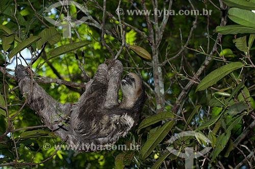 Assunto: Preguiça-de-três-dedos, ou preguiça-bentinho (Bradypus tridactylus) comendo folhas no Parque Municipal do Mindu  / Local:  Manaus -  Amazonas - AM - Brasil  / Data: 2007