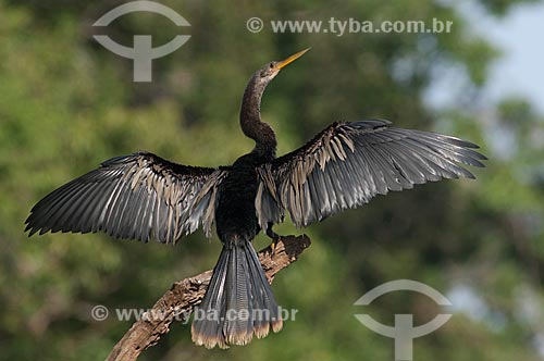 Assunto: Biguatinga, ou carará (Anhinga anhinga) macho, secando as asas na beira do lago Mamirauá  / Local:  Reserva de Desenvolvimento Sustentável Mamirauá - Amazonas - AM - Brasil  / Data: 2007