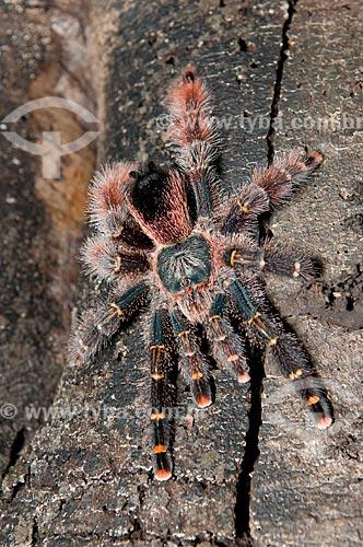 Assunto: Aranha-caranguejeira, ou tarântula num tronco de árvore da Floresta Amazônica de várzea da beira do lago Mamirauá  / Local:  Amazonas - AM - Brasil  / Data: 2007