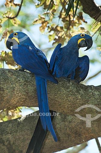 Assunto: Casal de araras-azuis / Local: Pantanal - Mato Grosso do Sul - MS - Brasil / Data: 10/2010