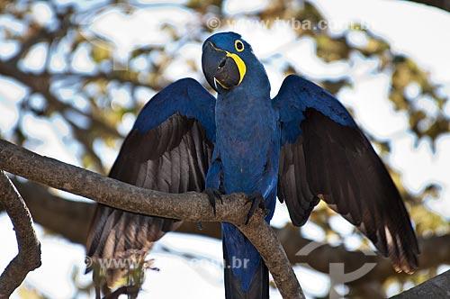 Assunto: Arara-azul apoiada no galho / Local: Pantanal - Mato Grosso do Sul - MS - Brasil / Data: 10/2010