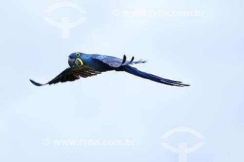Assunto: Arara-azul voando / Local: Pantanal - Mato Grosso do Sul - MS - Brasil / Data: 10/2010