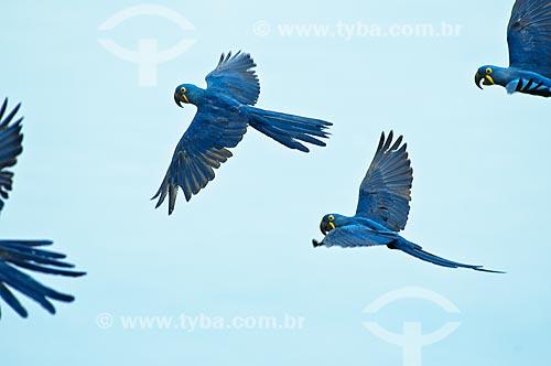 Assunto: Araras-azuis voando / Local: Pantanal - Mato Grosso do Sul - MS - Brasil / Data: 10/2010
